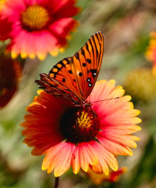 Fall-butterfly-lisa-scott